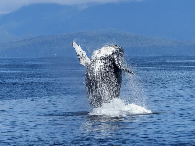 humpback-whale-